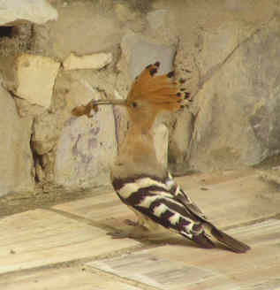 hoopoe feeding algarve portugal.